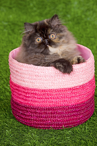 CAT 03 JE0120 01 © Kimball Stock Persian Chinchilla Kitten Sitting In Pink Basket On Grass