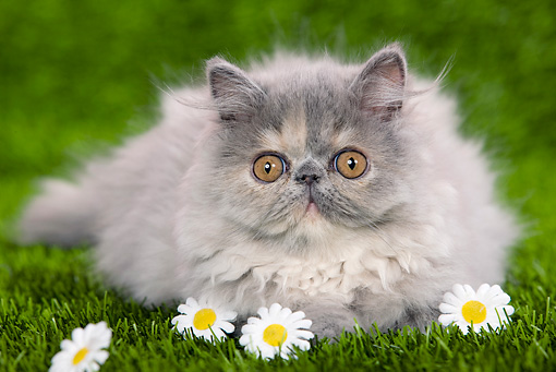 CAT 03 JE0121 01 © Kimball Stock Persian Chinchilla Kitten Laying On Grass With Daisies