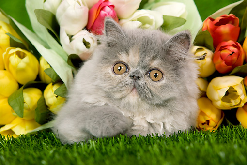 CAT 03 JE0122 01 © Kimball Stock Persian Chinchilla Kitten Laying On Grass With Tulips