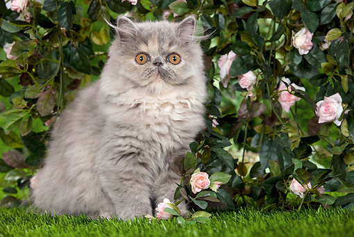 CAT 03 JE0123 01 © Kimball Stock Persian Chinchilla Kitten Sitting On Grass By Rose Bush