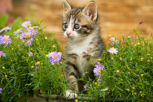CAT 03 JE0125 01 © Kimball Stock Tabby Kitten Sitting In Planter Box With Purple Daisies