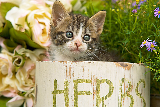 CAT 03 JE0127 01 © Kimball Stock Head Shot Of Tabby Kitten Sitting In Box With Purple Daisies And White Roses