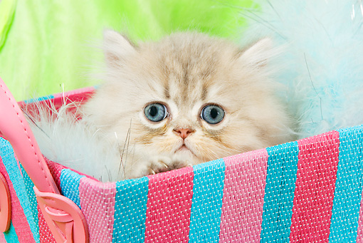 CAT 03 JE0128 01 © Kimball Stock Shaded Golden Persian Kitten Sitting In Blue And Pink Striped Box