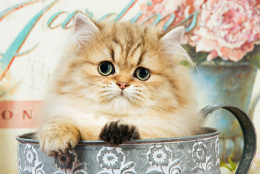 CAT 03 JE0131 01 © Kimball Stock Shaded Golden Persian Kitten Sitting In Watering Can