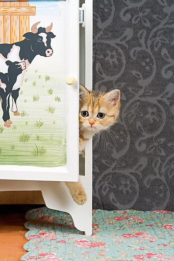 CAT 03 JE0132 01 © Kimball Stock British Shorthair Orange Tabby Peeking Head Out Of Cabinet With Cows Painted On