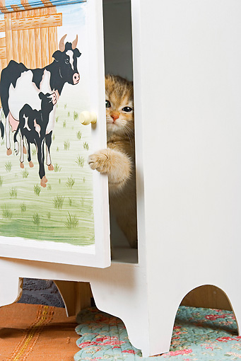 CAT 03 JE0133 01 © Kimball Stock British Shorthair Orange Tabby Peeking Head Out Of Cabinet With Cows Painted On