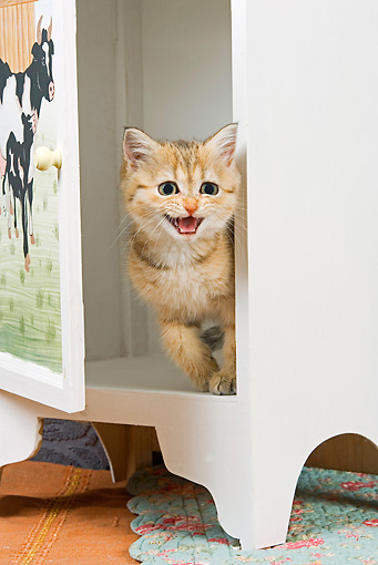 CAT 03 JE0134 01 © Kimball Stock British Shorthair Orange Tabby Sitting In Cabinet Meowing