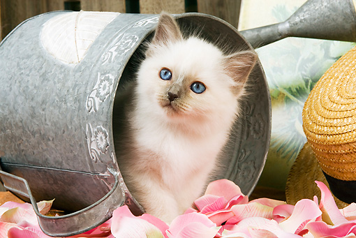 CAT 03 JE0135 01 © Kimball Stock Birman Kitten Laying In Watering Can With Pink Rose Petals