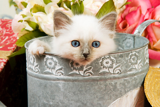 CAT 03 JE0136 01 © Kimball Stock Close-Up Of Birman Kitten Peeking Head Out Of Watering Can With White And Pink Roses