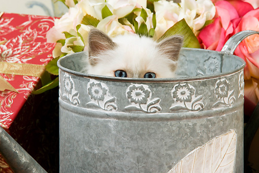 CAT 03 JE0137 01 © Kimball Stock Birman Kitten Peeking Head Out Of Watering Can With White And Pink Roses And Wrapped Gift