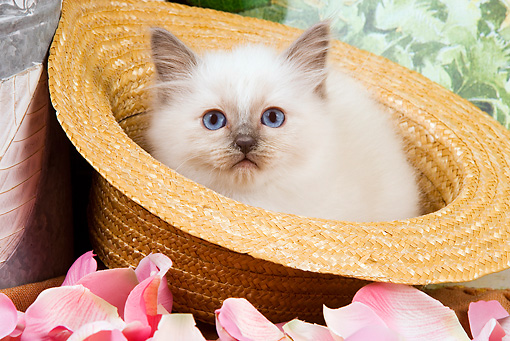 CAT 03 JE0138 01 © Kimball Stock Birman Kitten Sitting In Straw Hat With Pink Rose Petals