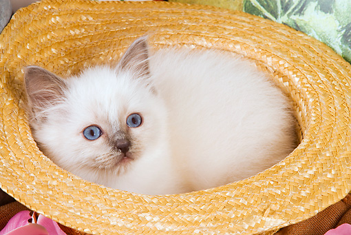 CAT 03 JE0139 01 © Kimball Stock Birman Kitten Laying In Straw Hat With Pink Rose Petals