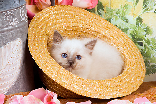 CAT 03 JE0140 01 © Kimball Stock Birman Kitten Laying In Straw Hat With Pink Rose Petals And Watering Can
