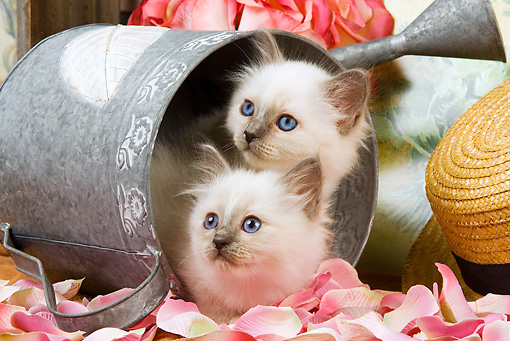 CAT 03 JE0142 01 © Kimball Stock Birman Kittens Laying In Watering Can With Pink Rose Petals