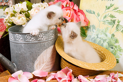 CAT 03 JE0143 01 © Kimball Stock Birman Kittens Sitting In Watering Can And Straw Hat With Pink Rose Petals