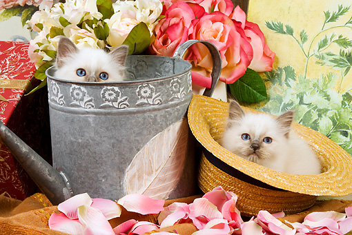 CAT 03 JE0144 01 © Kimball Stock Birman Kittens Sitting In Watering Can And Straw Hat With Pink Rose Petals
