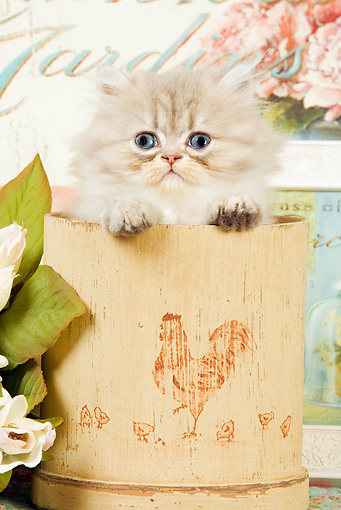 CAT 03 JE0145 01 © Kimball Stock Silver Shaded Persian Kitten Sitting In Plant Pot