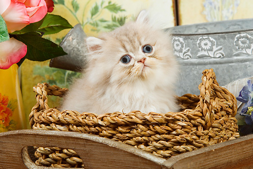 CAT 03 JE0146 01 © Kimball Stock Silver Shaded Persian Kitten Sitting In Wicker Basket With Pink Roses And Watering Can