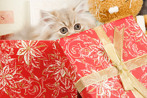 CAT 03 JE0147 01 © Kimball Stock Silver Shaded Persian Kitten Sitting In Wrapped Red Gift Box With Floral Design
