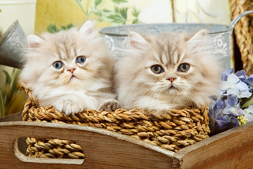 CAT 03 JE0148 01 © Kimball Stock Two Silver Shaded Persian Kittens Sitting In Wicker Basket With Watering Can