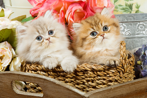 CAT 03 JE0149 01 © Kimball Stock Silver Shaded And Golden Shaded Persian Kittens Sitting In Wicker Basket With Watering Can And Pink Roses