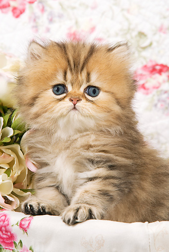 CAT 03 JE0150 01 © Kimball Stock Golden Shaded Persian Kitten Sitting In Box With Floral Design