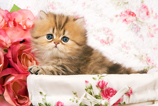 CAT 03 JE0151 01 © Kimball Stock Golden Shaded Persian Kitten Laying In Box With Floral Design And Pink Roses