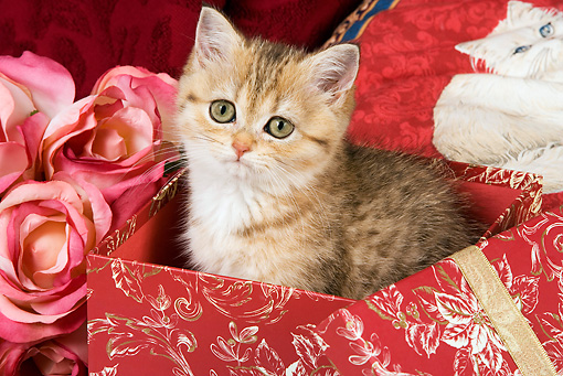 CAT 03 JE0152 01 © Kimball Stock Orange British Shorthair Tabby Kitten Sitting In Wrapped Gift Box With Pink Roses