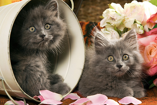 CAT 03 JE0153 01 © Kimball Stock Gray Long-Haired Kittens Laying In Bucket With Pink And White Roses And Rose Petals