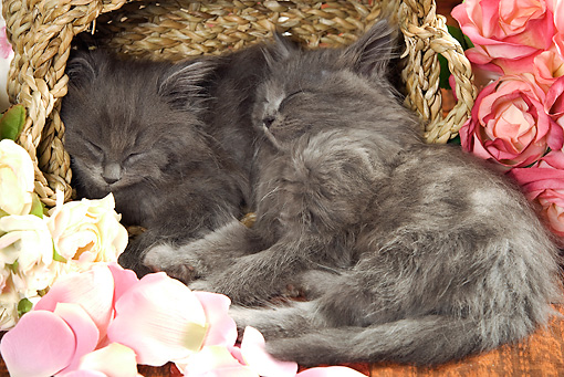 CAT 03 JE0154 01 © Kimball Stock Gray Long-Haired Kittens Sleeping In Wicker Basket With Pink And White Roses And Rose Petals