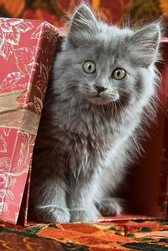 CAT 03 JE0157 01 © Kimball Stock Gray Long-Haired Kitten Sitting In Wrapped Red Gift Box With Floral Design