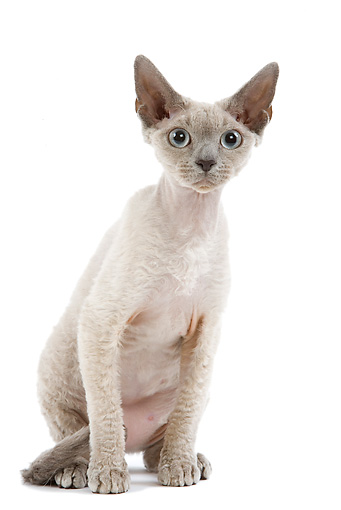 CAT 03 JE0160 01 © Kimball Stock Devon Rex Kitten Sitting On White Seamless