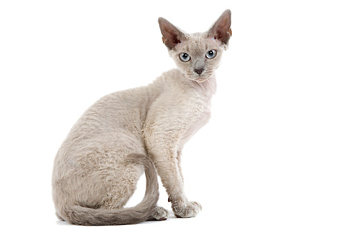CAT 03 JE0161 01 © Kimball Stock Devon Rex Kitten Sitting On White Seamless Profile