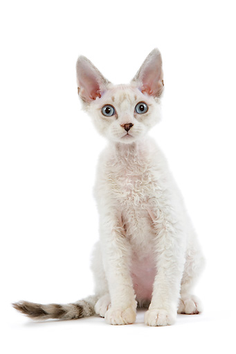 CAT 03 JE0162 01 © Kimball Stock Devon Rex Kitten Sitting On White Seamless