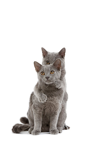 CAT 03 JE0165 01 © Kimball Stock Chartreux Kittens Sitting On White Seamless