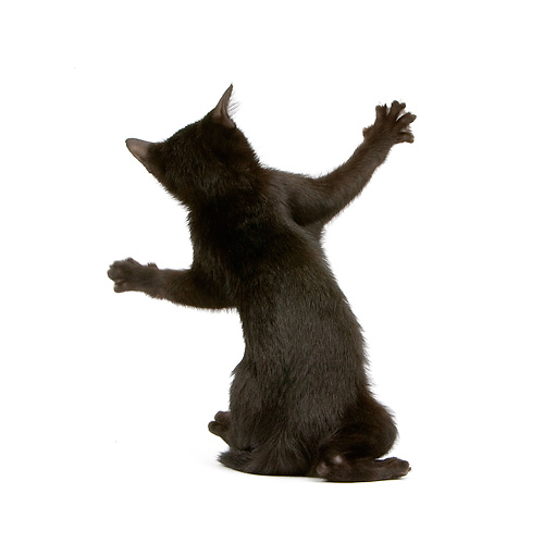 CAT 03 JE0167 01 © Kimball Stock Bombay Black Kitten Sitting On White Seamless