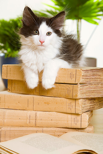 CAT 03 JE0169 01 © Kimball Stock Norwegian Forest Kitten Laying On Stack Of Books