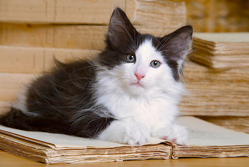 CAT 03 JE0170 01 © Kimball Stock Norwegian Forest Kitten Laying On Open Book