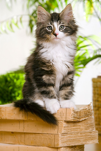 CAT 03 JE0175 01 © Kimball Stock Norwegian Forest Kitten Sitting On Stack Of Books