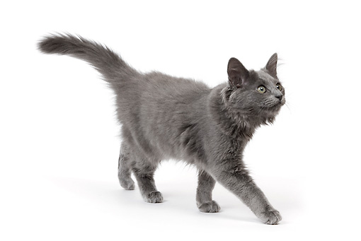 CAT 03 JE0178 01 © Kimball Stock Nebelung Kitten Walking On White Seamless