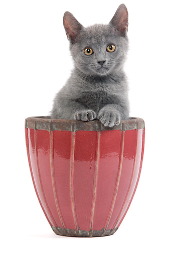 CAT 03 JE0181 01 © Kimball Stock Chartreux Kitten Sitting In Flower Pot On White Seamless