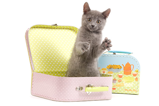 CAT 03 JE0182 01 © Kimball Stock Chartreux Kitten Sitting In Toy Suitcase On White Seamless
