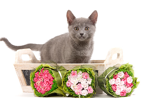 CAT 03 JE0183 01 © Kimball Stock Chartreux Kitten Standing In Wooden Basket By Rose Bouquets On White Seamless