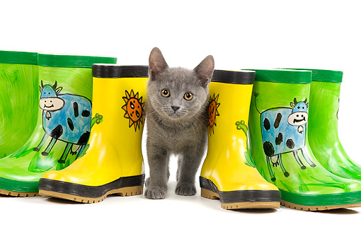 CAT 03 JE0185 01 © Kimball Stock Chartreux Kitten Standing Between Rainboots On White Seamless