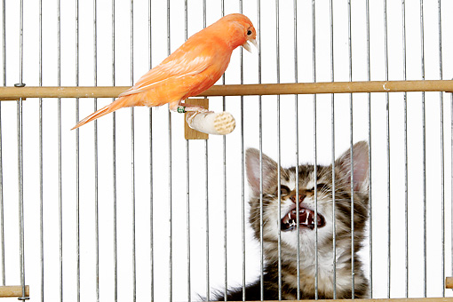CAT 03 JE0195 01 © Kimball Stock Alley Kitten Hissing At Canary In Cage On White Seamless