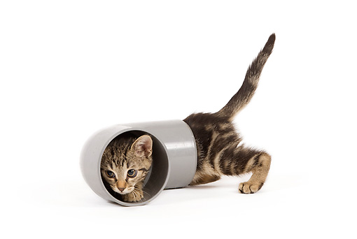 CAT 03 JE0201 01 © Kimball Stock Alley Kitten Crawling Through Pipe On White Seamless