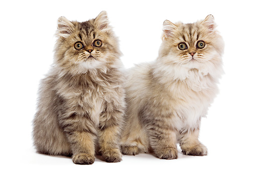 CAT 03 JE0216 01 © Kimball Stock Two Persian Kittens Sitting On White Seamless