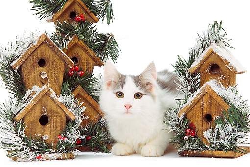 CAT 03 JE0221 01 © Kimball Stock Norwegian Forest Kitten Laying By Holiday Birdhouses On White Seamless