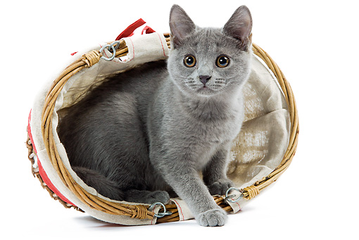 CAT 03 JE0225 01 © Kimball Stock Chartreux Kitten Sitting In Tipped Wicker Basket On White Seamless