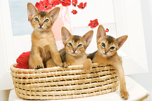CAT 03 JE0236 01 © Kimball Stock Three Abyssinian Kittens Sitting In Basket